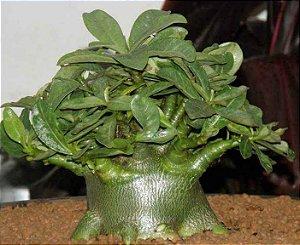 Sementes Raras - Arabicum Fb Iyala F2 - Kit com 2 sementes