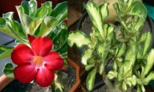 Adenium Variegated Leaves - Kit com 3 sementes - Red - Mr. Ko