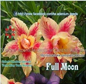 Enxerto de uma cor com flor Dobrada - Full Moon (Importada)
