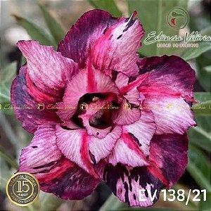 Muda Rosa do Deserto de enxerto com flor dobrada na cor matizada - EV138/21