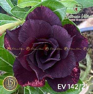 Muda Rosa do Deserto de enxerto com flor tripla na cor roxa - EV142/21