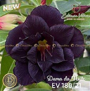 Muda Rosa do Deserto de enxerto com flor tripla na cor roxa - EV180/21 Dama da Noite