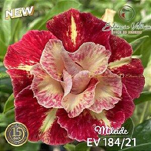 Muda Rosa do Deserto de enxerto com flor dobrada na cor matizada - EV184/21 Mileide