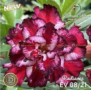 Muda Rosa do Deserto de enxerto com flor tripla na cor Vermelha Matizada - EV08/21 RADIANCE