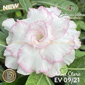 Muda Rosa do Deserto de enxerto com flor tripla na cor Branca Matizada - EV09/21 Anna Clara