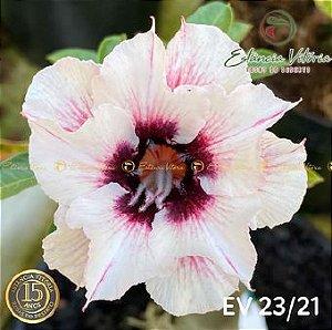 Muda Rosa do Deserto de enxerto com flor dobrada na cor Branca Matizada - EV23/21