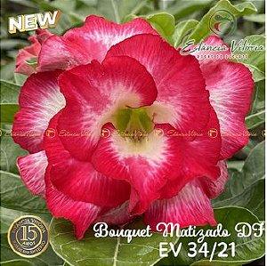 Muda Rosa do Deserto de enxerto com flor dobrada Bouquet na cor Matizada - EV34/21 Bouquet Matizada DF