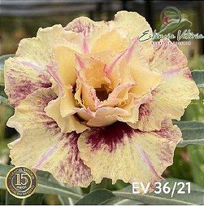 Muda Rosa do Deserto de enxerto com flor tripla na cor Amarela Matizada - EV36/21