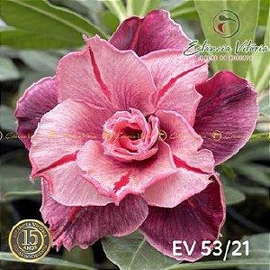 Muda Rosa do Deserto de enxerto com flor tripla na cor matizada - EV53/21