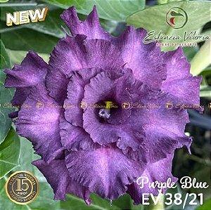 Muda Rosa do Deserto de enxerto com flor tripla na cor Roxa - EV38/21Purple Blue