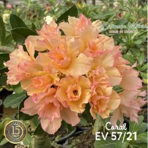 Muda Rosa do Deserto de enxerto com flor dobrada na cor Coral - EV57/21 Coral