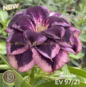 Muda Rosa do Deserto de enxerto com flor tripla na cor Roxa Matizada - EV97/21 Sansão