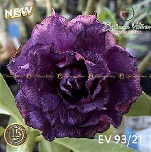 Muda Rosa do Deserto de enxerto com flor tripla na cor Roxa - EV93/21