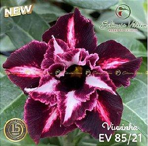 Muda Rosa do Deserto de enxerto com flor dobrada na cor Roxa  Matizada- EV85/21 Viuvinha