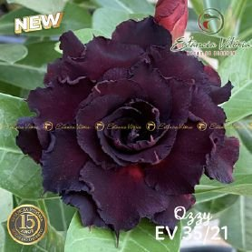 Muda Rosa do Deserto de enxerto com flor tripla na cor Roxa - EV35/21 Ozzy