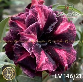Muda Rosa do Deserto de enxerto com flor tripla na cor Roxa Matizada- EV146/21