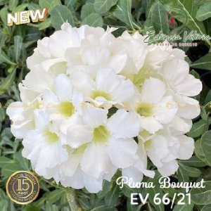 Muda Rosa do Deserto de enxerto com flor Simples Bouquet na cor Branca- EV66/21 Pluma Branca