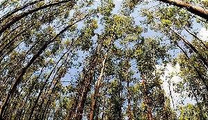 Sementes Eucalipto Viminalis 100 gramas