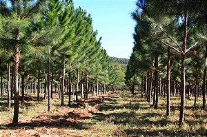 Sementes Pinus Elliottii 100 gramas