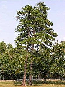 Sementes Pinus Taeda 100 gramas