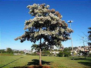 Sementes de Louro Pardo - Cordia trichotoma - 100 gramas