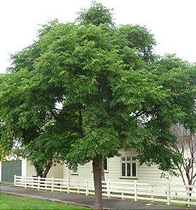 Sementes de Cinamomo Gigante - Melia azedarach - 100 gramas