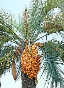 Sementes de Butiazeiro - Butia Eriosphatha - 100 gramas