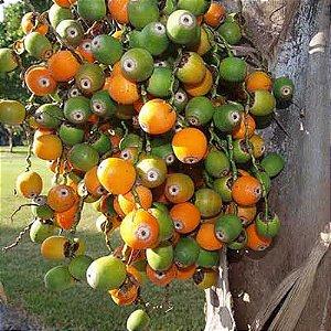 Semente de Jerivá / Coqueiro de Jerivá - 100 gramas