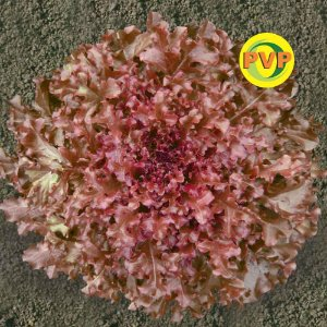 Sementes Alface Crespa Roxa Fireball Tecnoseed - Envelope 1gr