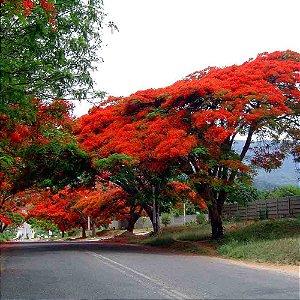 Sementes de Flamboyant Vermelho - Delonix regia sp - 100 gramas