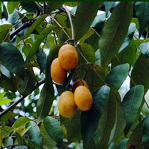 Sementes de Cajá-Grande - 100 gramas