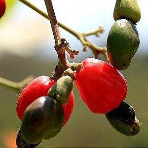 Sementes de Cajuzinho do Cerrado - 100 gramas