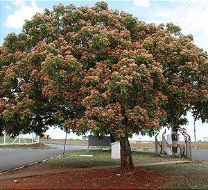Sementes de Abobreira / Samaneiro-de-Cangalha - 100 gramas
