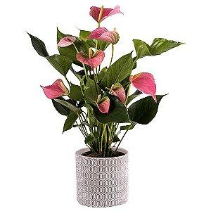 Antúrio Plantado Pink
