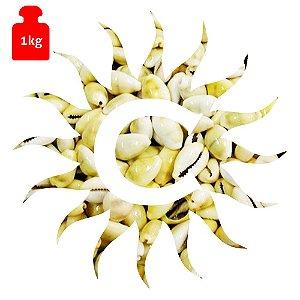 Buzio - Gema - Fechado - 1 Kilo