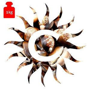 Buzio - Marrom - Fechado - 1 Kilo