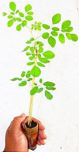 Mudas de Moringa oleifera  altura 30cm  kit c/ 03mudas + substrato plantio + 03 vasos