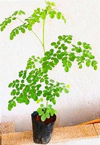 Muda de Moringa oleifera  com 90cm altura