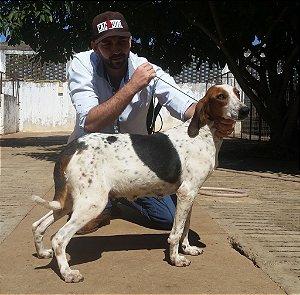 Futrica - Foxhound Americano