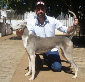 Musquita -  GreyHound (Galgo)