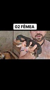 FILHOTES DE FOXHOUND AMERICANO JOIA X LAMPIAO