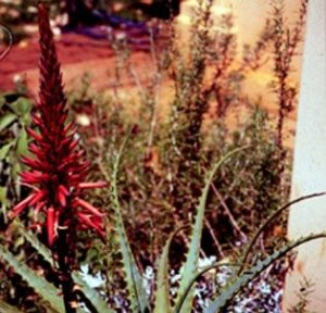 Aloe Candelabro - Essência Floral - Auto Cura