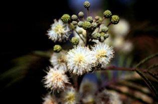 Angico do Cerrado  - Essência Floral - Adversidade