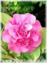 Camélia Rosa - Essência Floral - Inadequação