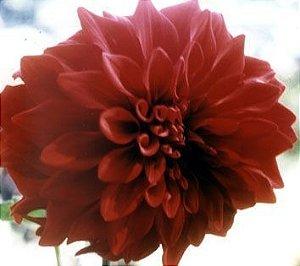 Crisandália - Essência Floral - Ninfomania