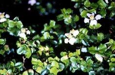 Cruz de Malta - Essência Floral -Tirania