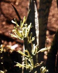 Espada de São Jorge - Essência Floral - Defesa