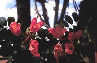 Espatódia - Essência Floral - Compartilhar
