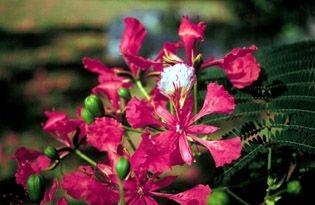 Flamboyant - Essência Floral - Aceitação