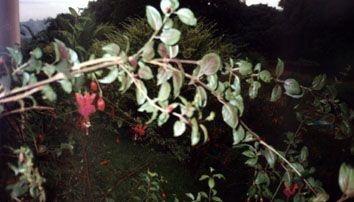 Fuchsia - Essência Floral - Liberação da Agressividade